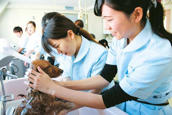 愛玩動物看護・学科は卒業時にトリマー3級の資格を取得。動物病院で必要なグルーミング(お手入れ)を中心に週に1回実習を行うので、一般の犬の取り扱い、接し方に慣れることができます!
