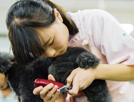 <グルーミング実習> 一般家庭からお預かりしたモデル犬を使用し、シャンプーやブロー、トリミング技術を学びます。 約24犬種の犬を使い、JKCライセンスを取得している経験豊富な講師陣からシャンプーやブロー、トリミング技術を学びます。グルーミング実習では、犬の頭からつま先まで全身を扱うため、保定などの看護技術の習得にも直結。また本校の実習は、一般家庭からお預かりしたモデル犬を使用しますので、さまざまな犬種や性格の犬を相手に行うのも特徴です。犬とふれあう機会を大切にし、現場で通用する実践的な犬の扱い方も学んでい